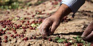 Iranian Jujube Harvesting