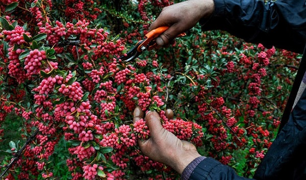 Pofaki Barberry Harvesting