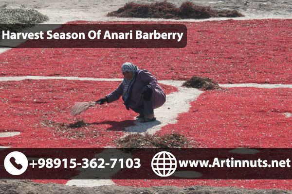 Anari Barberry Harvesting