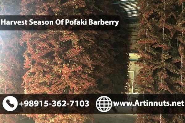 Pofaki Barberry Harvesting