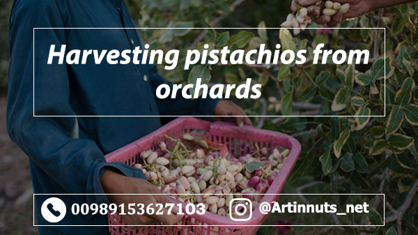 Harvesting Pistachios