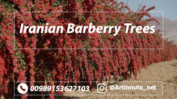 Iranian Barberry Trees