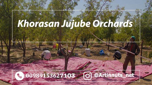 Khorasan Jujube Orchards