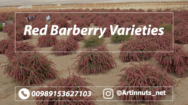 Red Barberry Varieties