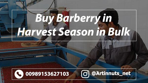 Buy Barberry in Harvest Season
