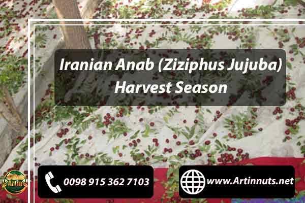 Anab Harvest Season