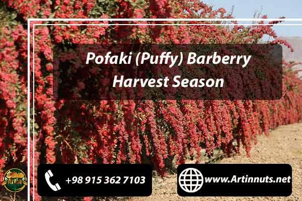 Barberry Harvest Season