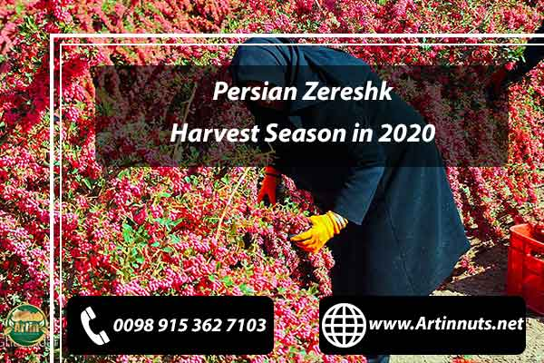 Zereshk Harvest Season