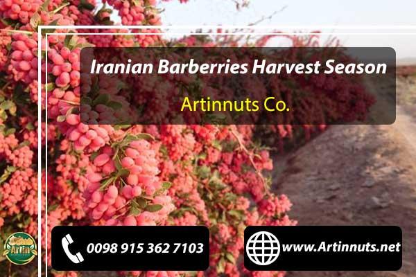 Barberries Harvest Season