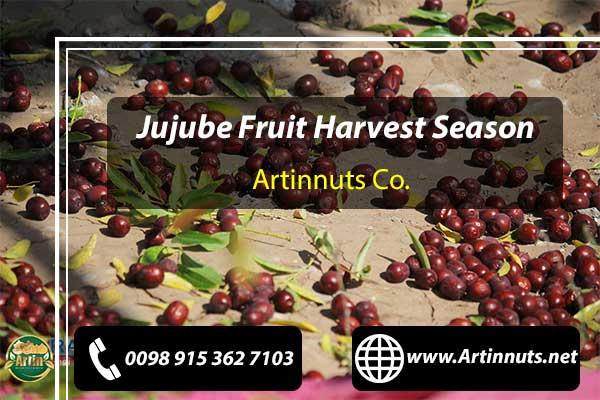 Jujube Fruit Harvest Season