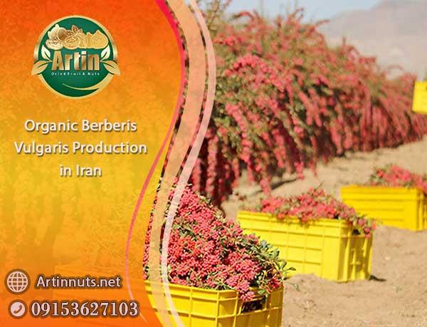 Organic Berberis Vulgaris