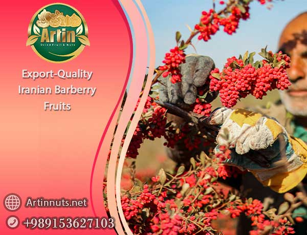 Iranian Barberry Fruits