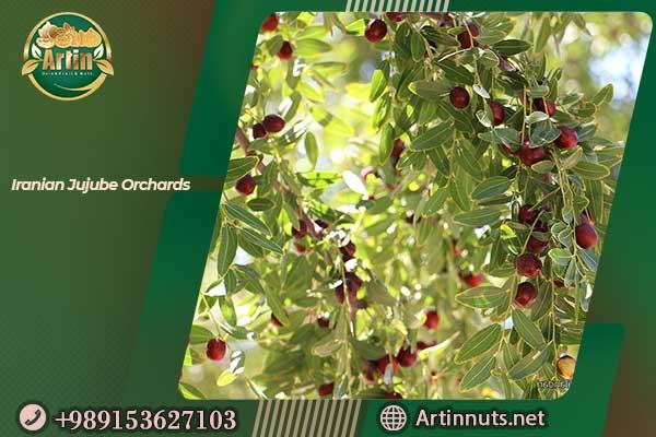 Iranian Jujube Orchards