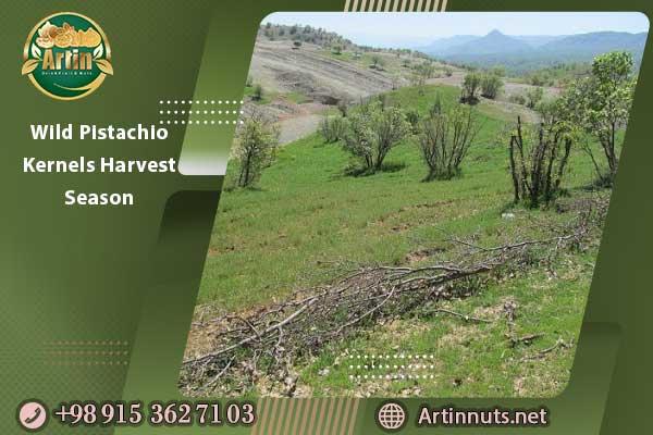 Wild Pistachio Kernels Harvest Season