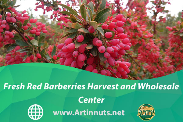 Fresh Red Barberries Harvest and Wholesale Center
