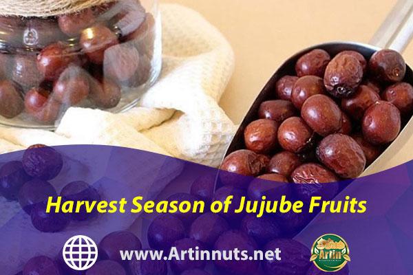 Harvest Season of Jujube Fruits