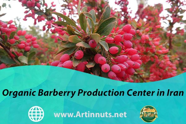 Organic Barberry Production Center in Iran