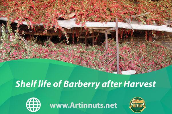 Shelf life of Barberry after Harvest